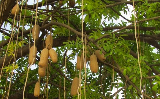 baobab hanging fruit
